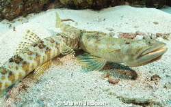 Lizard fish biting another lizard fish. Nikon 10.5mm lens. by Shawn Jackson 